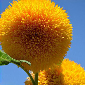 15Pcs Teddy Bear Sunflower Seeds Home Garden Semi Dwarf Helianthus Garden Beautiful Flower Seeds SKU562530