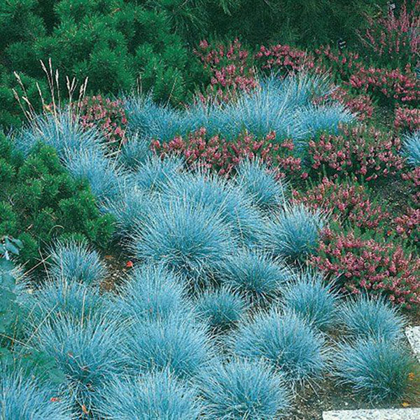 Pictures Of Ornamental Grass Favorable 100pcs blue fescue grass seeds perennial hardy ornamental 100pcs blue fescue grass seeds perennial hardy ornamental grass home garden workwithnaturefo